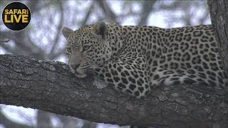 safariLIVE - Sunrise Safari - September 15, 2018