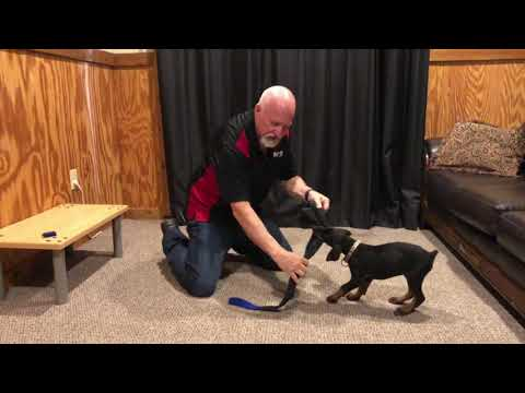 """Temperment & Drive Evaluation Of """"Grady"""" 8 Wk Doberman Puppy For Sale w/Additional Training"""