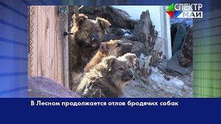 В Лесном продолжается отлов бродячих собак