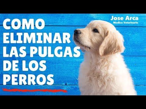 Como eliminar las Pulgas de los Perros #PulgasEnPerros