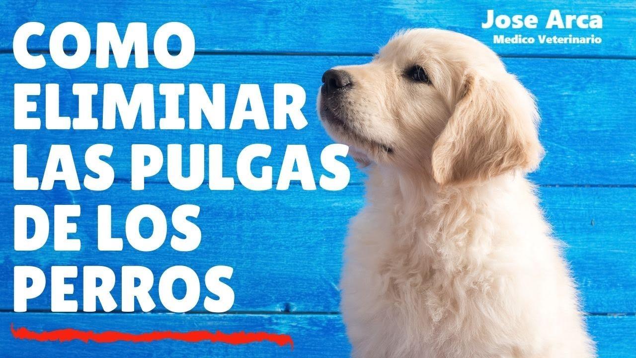 Como eliminar las pulgas de los perros pulgasenperros doovi - Como erradicar las pulgas ...
