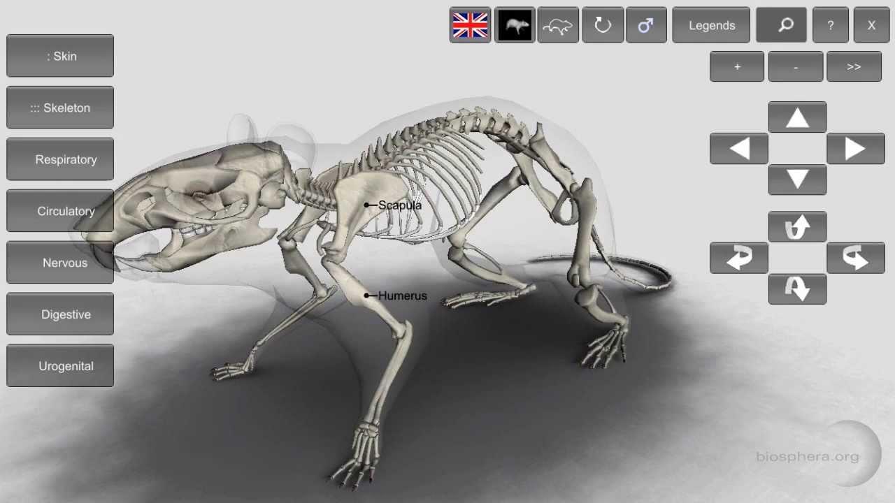 3D Rat Anatomy - YouTube