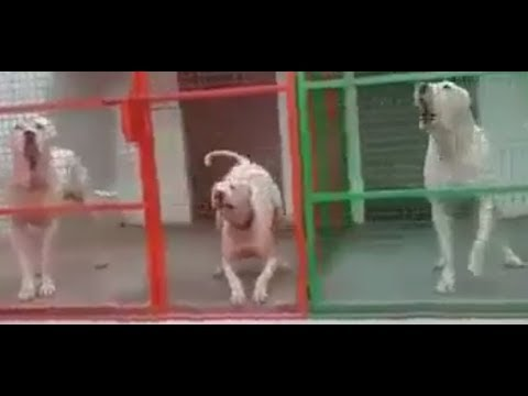 Beast Pure Dogs Bully Kutta Barking !!!