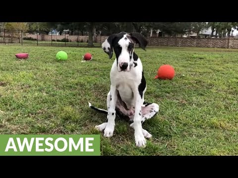 Smiling Great Dane puppy learns to sit and stay