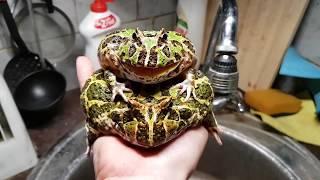 Голос лягушки рогатки. Надуваем лягушечку без соломинок и смс.