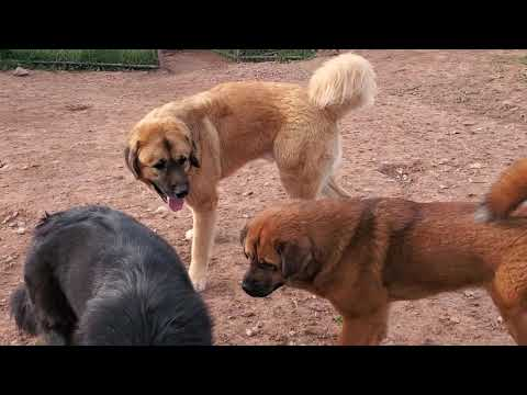 Asian Bear's Tibetan Mastiffs,  American Akita,  Caucasian Ovcharka  and Asian Bear Dogs