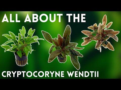 An Easy Lowlight Plant - Plant Species Profile: Cryptocoryne Wendtii