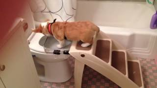 Potty trained puppy uses the toilet
