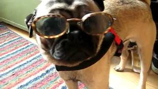 Louey The Pug In Glasses