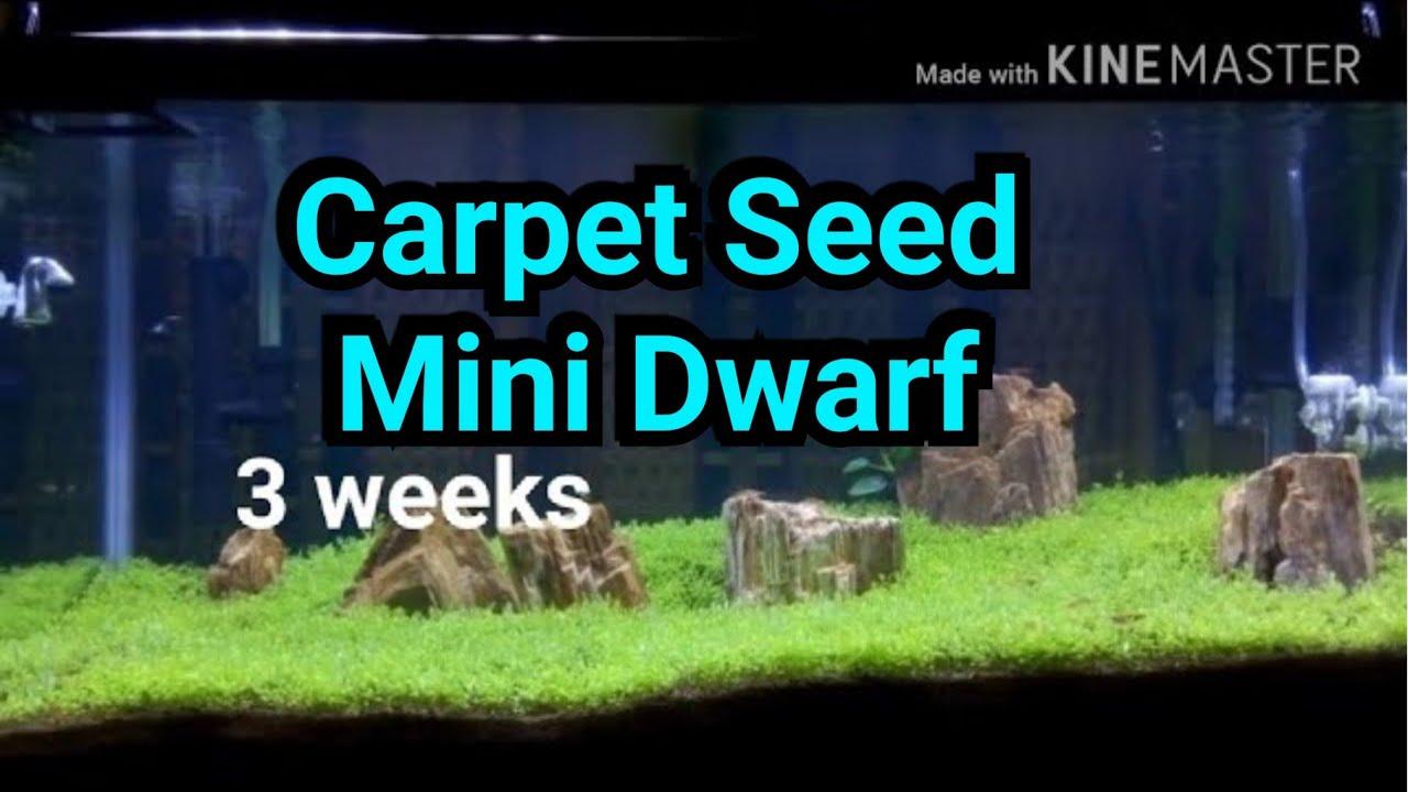 Carpet Seed Mini Dwarf - 3 weeks progress - aquascape