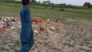 Sherazi fighter pigeons khokhon ki larai dosto chek kro in Pakistan
