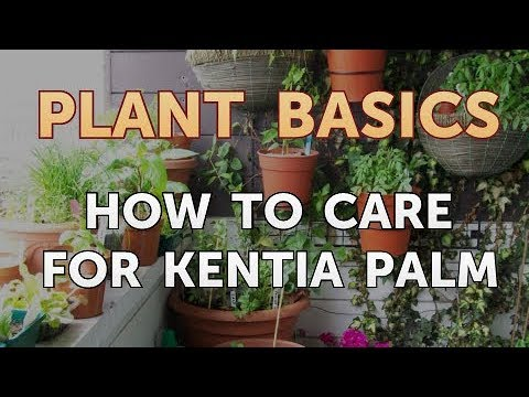How to Care for Kentia Palm