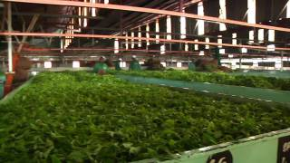Kenya Sustainable Tea Production