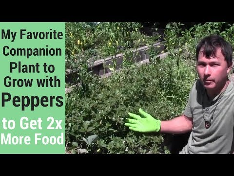 My Favorite Companion Plant To Grow With Peppers To Get 2x More Food