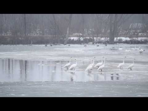 Tundra Swans communicating before taking off at Aylmer Wildlife Management Area