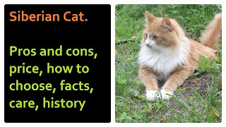 Siberian Cat. Pros and Cons, Price, How to choose, Facts, Care, History