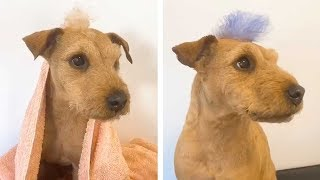 Adorable Dog Gets Mohawk Dyed Purple