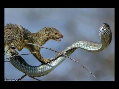 सांप और नेवले में हुई जमकर लड़ाई, रूकी हाईवे की रफ्तार | Snake And Mongoose  Fight