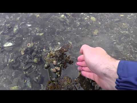 Foraging seafood at the shore-Strangford lough
