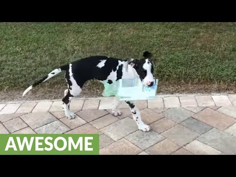 Great Dane puppy learns how to delivery the newspaper