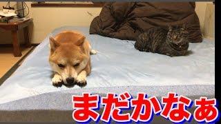 柴犬ハナと猫クロのお留守番!猫がベッドで可愛いすぎる声でお出迎え-- Shiba and cat are waiting.--