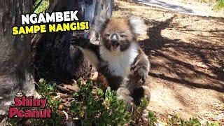 Tega! Koala Ini Diusir Dari Pohon Lalu Menangis