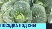 Выращивание ранней капусты - YouTube