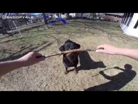 GoPro: Rottweiler POV Tug Of War