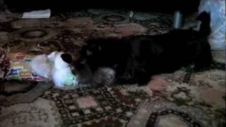 Miniature Schnauzer Puppy Unwrapping Her Christmas Presents