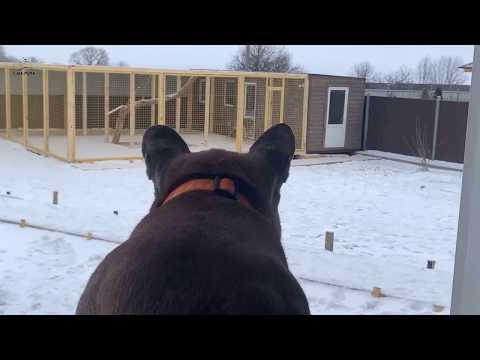 Пума Месси наблюдает за гепардом из окна