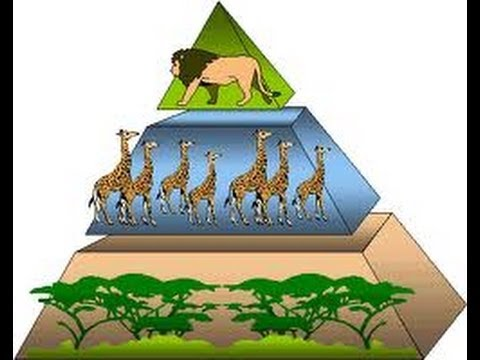 Energy Pyramid - Energy Flow in Ecosystem -Video for Kids by makemegenius.com