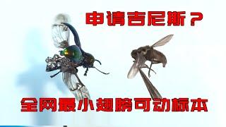 我做了一个比苍蝇还小的可动标本,申请吉尼斯咋样?