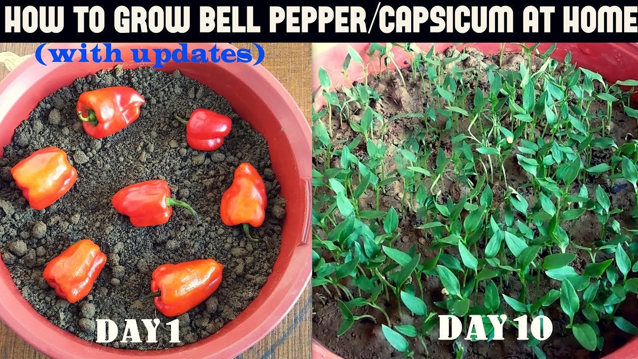 Growing Peppers In Your Vegetable Garden: How To Grow Bell Pepper/Capsicum At Home (WITH UPDATES