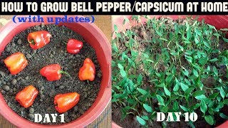 How to Grow Bell Pepper/Capsicum at Home (WITH UPDATES)