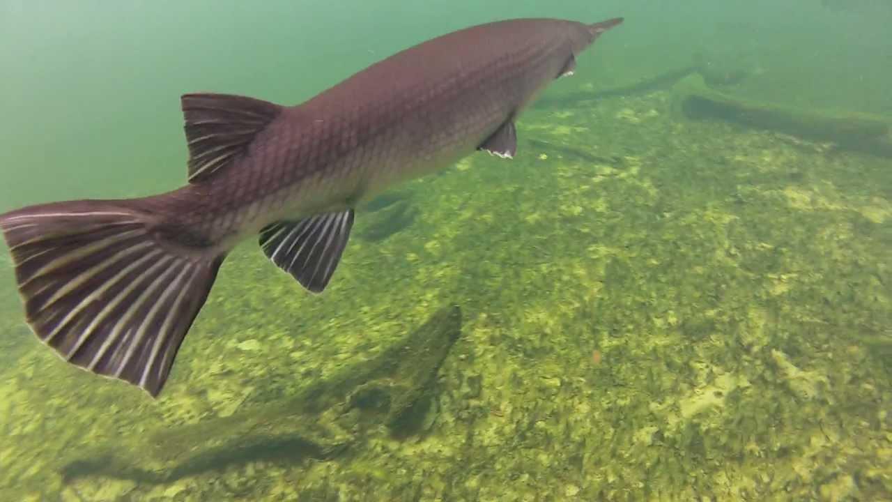 gopro hero 2 underwater footage of some gar fish at blue
