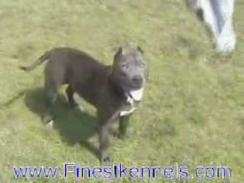 Finest Kennels, Blue Nose Pitbull Puppies For Sale Riverside
