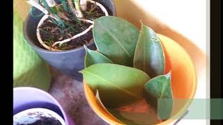 Riproduzione del Ficus elastica per talea di foglia