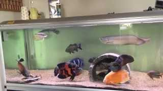 feeding my predator fish monster tank