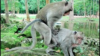 Amazing Monkey, How To Breeds Long Tail Monkey In Cambodia