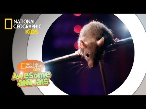 Rat Genius | Awesome Animals