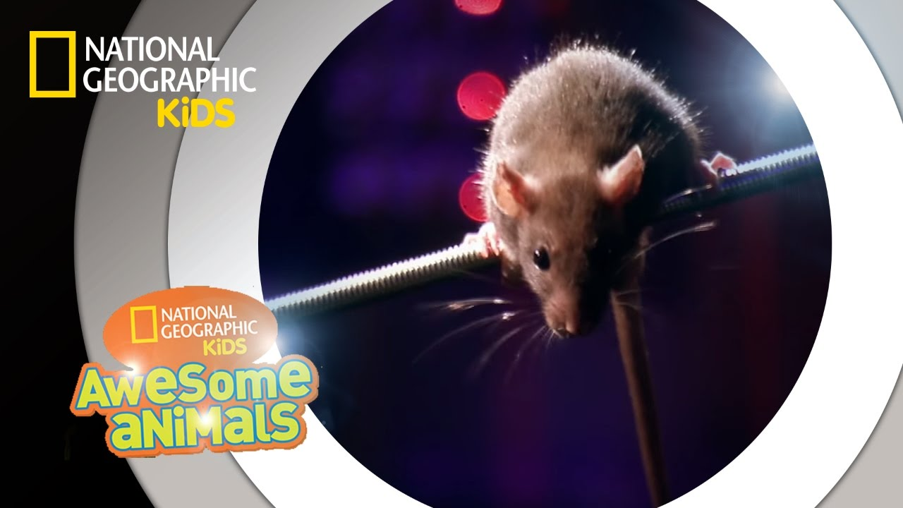 rat genius awesome animals youtube