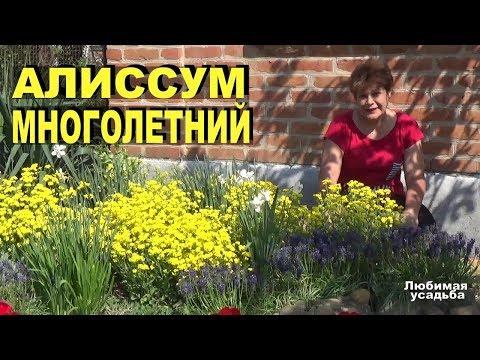 Алиссум многолетний с желтыми цветами Выращивание, уход, особенности