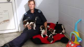 """f-litter"" Biosecurity Beagle Puppies"