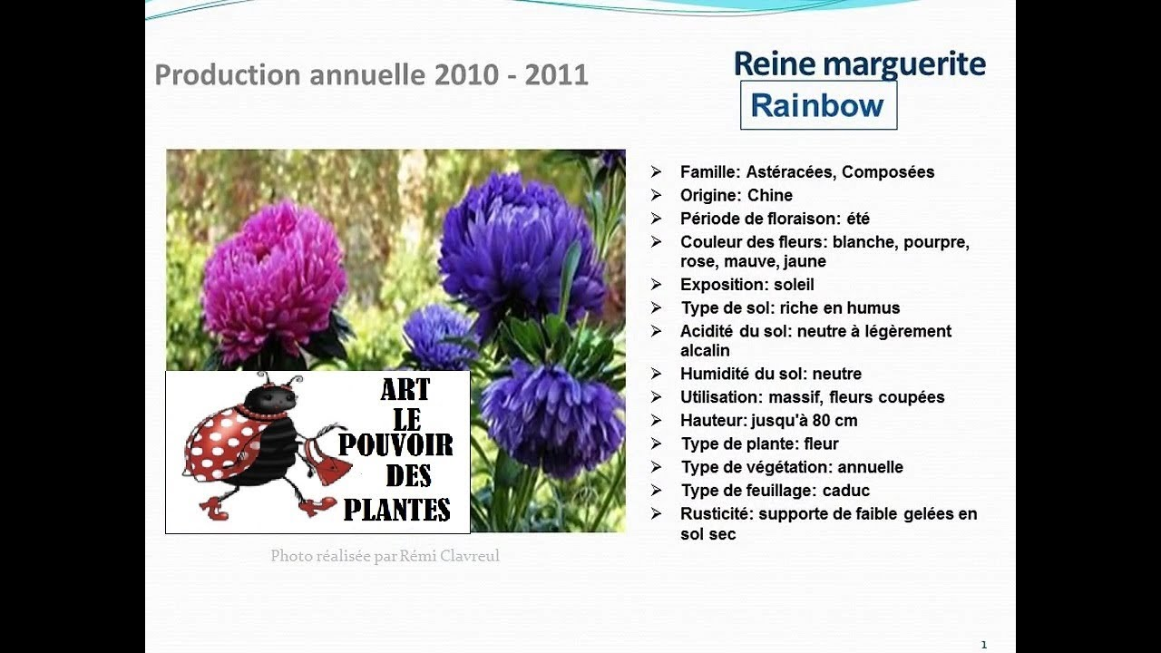 Reine marguerite rainbow plante annuelle youtube for Plante annuelle