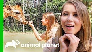 Bindi Meets Australia Zoo's Newest Baby Giraffe!   Crikey! It's The Irwins