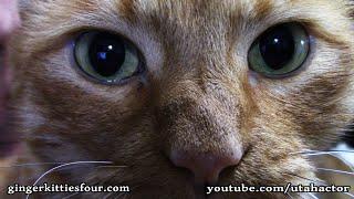 Phoebe, a Rare Ginger Female Kitty