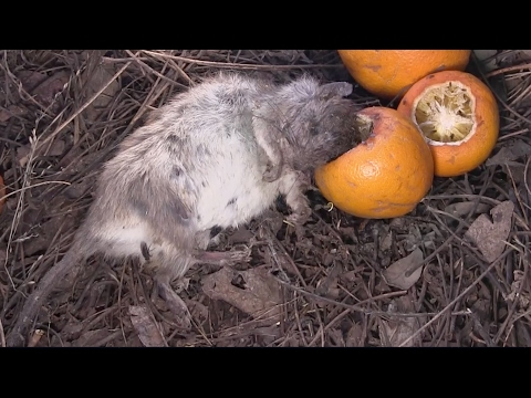 How To Keep Animals From Eating Your Fruit Doovi