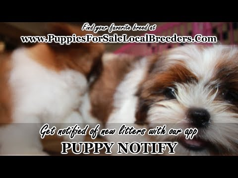 SHIH TZU PUPPIES FOR SALE, GEORGIA LOCAL BREEDERS, GWINNETT COUNTY, GA