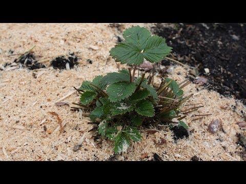 Чем подкормить клубнику после зимы  Биогумус – лучшее удобрение