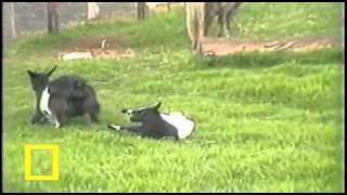 Honey Badger Narrates: The Stiffy Goat